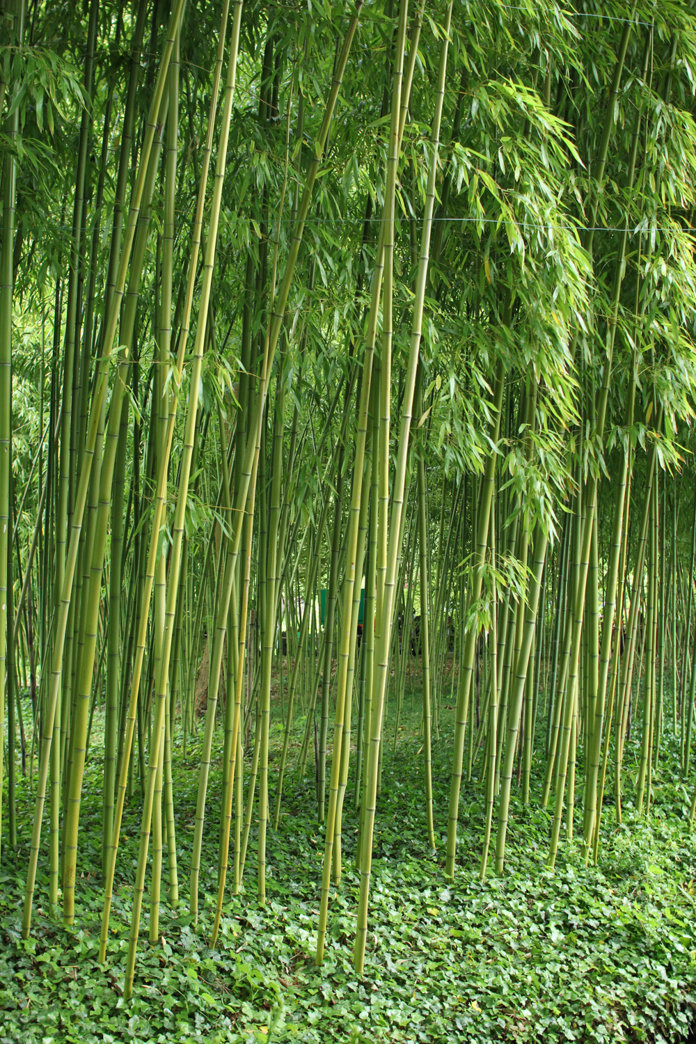 Bamboo in Monet's Garden, Giverny