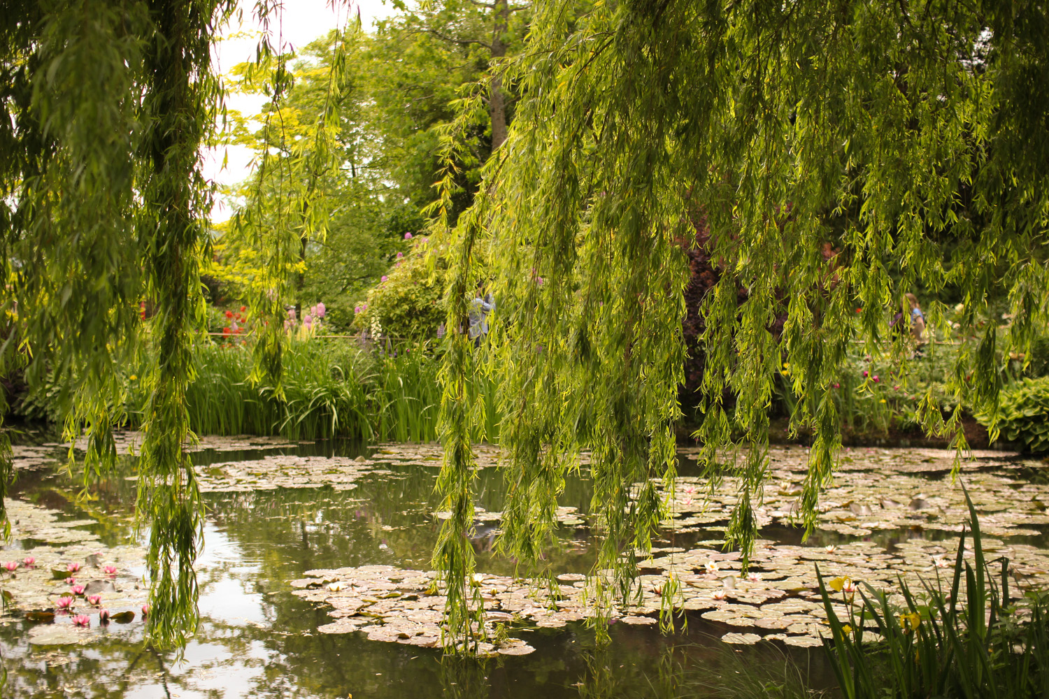 Water Lilies and Willow Tree in Monet's Garden
