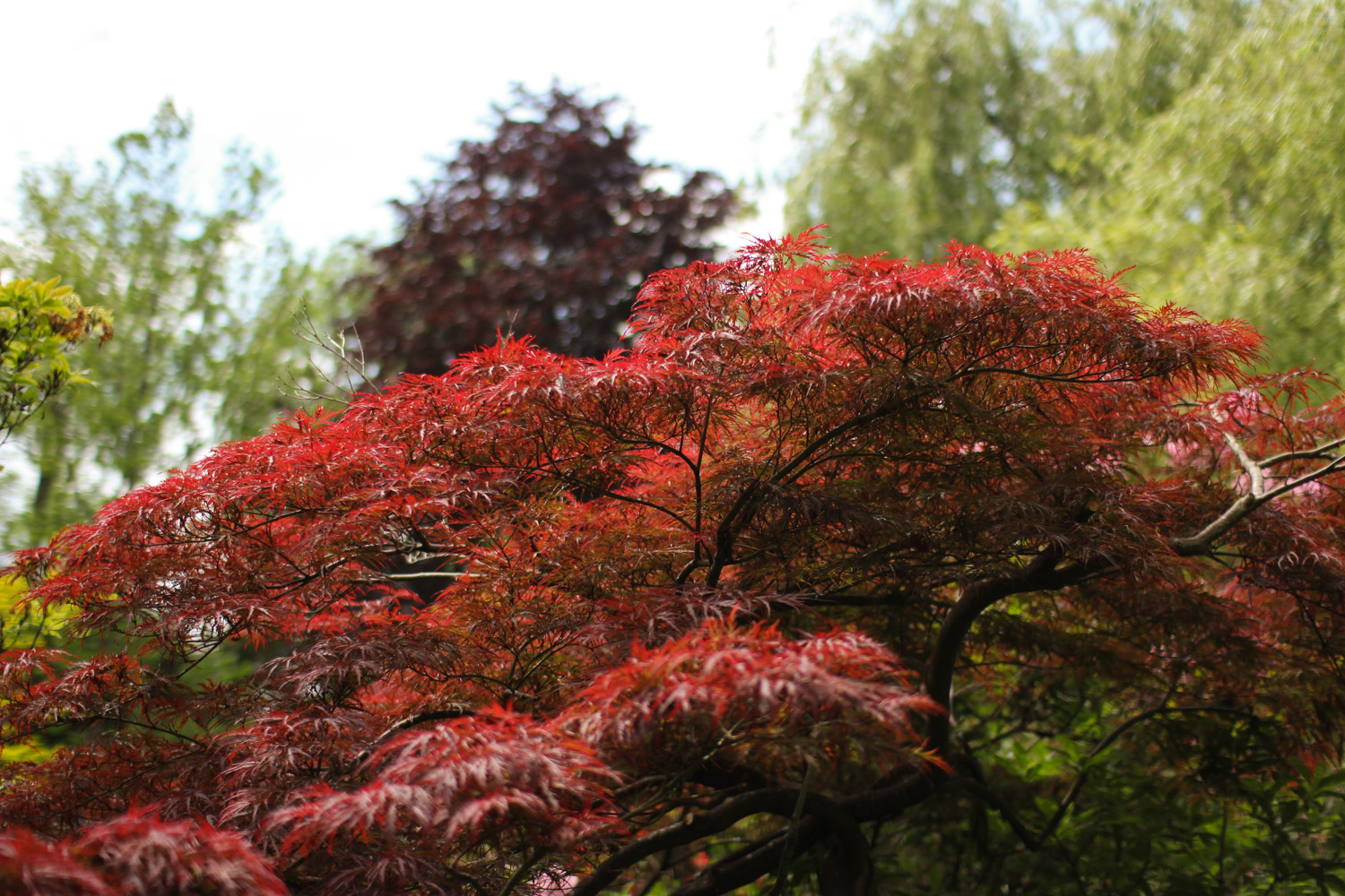Japanese Maple in Monet's Garden, Giverny